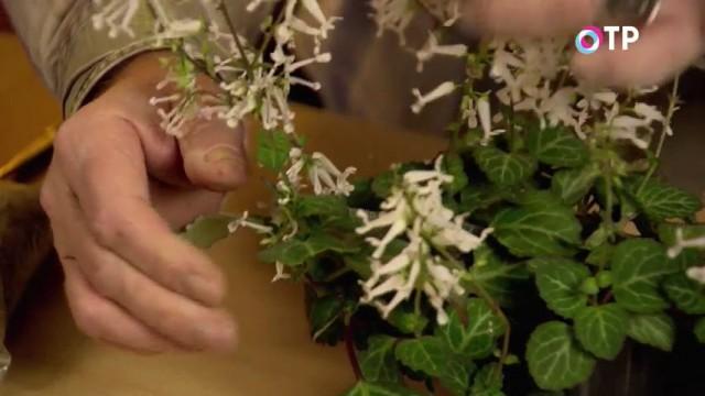 Цветущее растение плектрантус