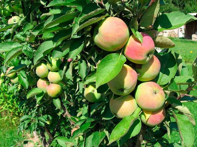 Яблоки сорта «Президент»