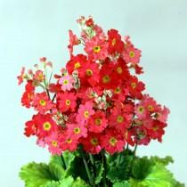 Примула мягковатая «Феир Леди» красная ( Primula malacoides 'Fair Lady' Scarlet)