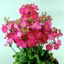 Примула мягковатая «Феир Леди» розовая ( Primula malacoides 'Fair Lady' Rose)
