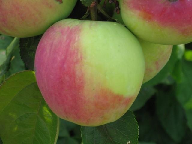 Яблоки сорта «Северный синап»