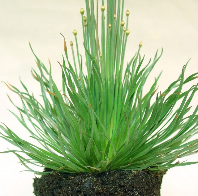 Сингонантус золотистоцветковый (Syngonanthus chrysanthus)
