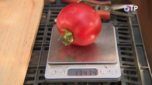 Гибридный сорт томата «Любаша»