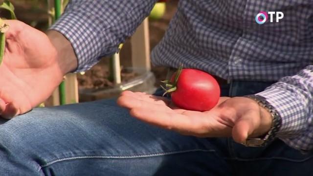 Плод индетерминантного гибрида томата «Великосветский»
