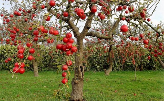 Яблоня осеннего сорта