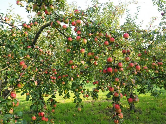 Яблоня с яблоками