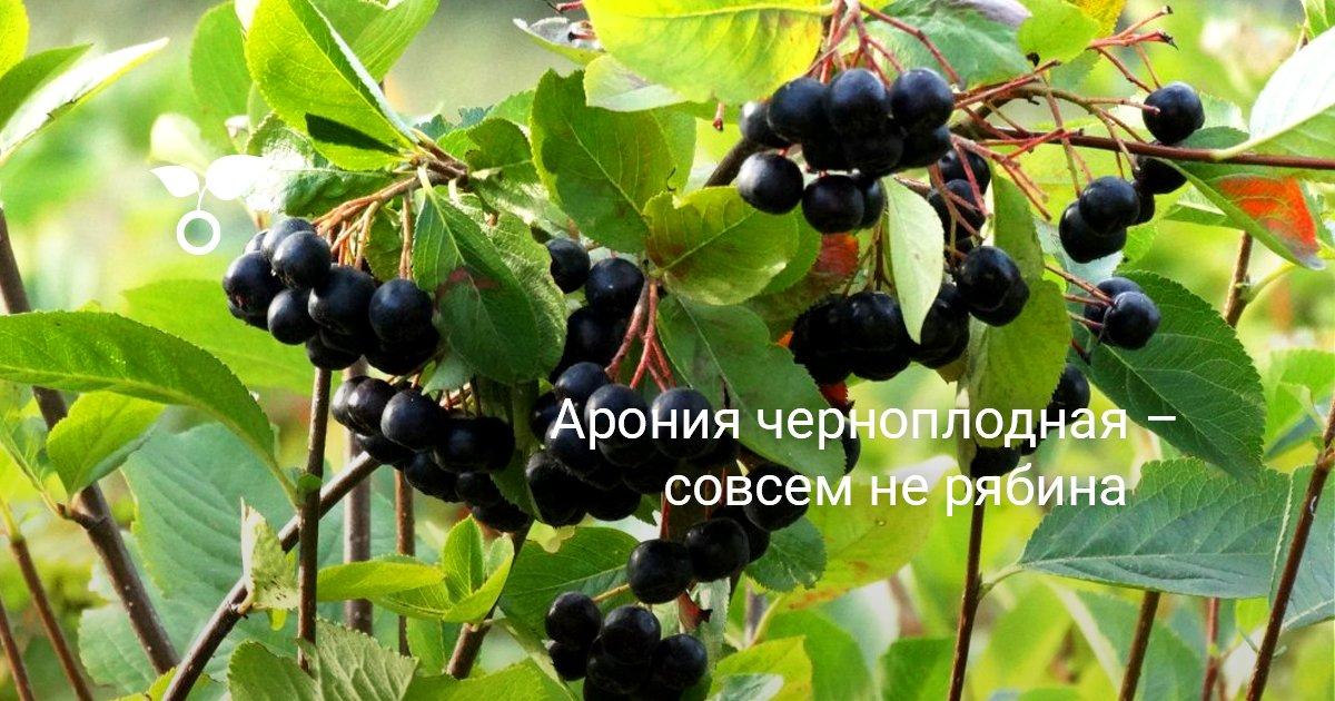 Черная или черноплодная рябина