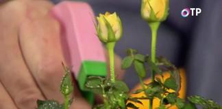 В квартирах воздух очень сухой и розы следует часто опрыскивать