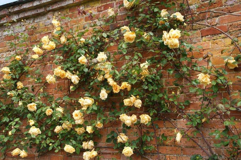 Climbing-Rose-Lady-Hillingdon-3