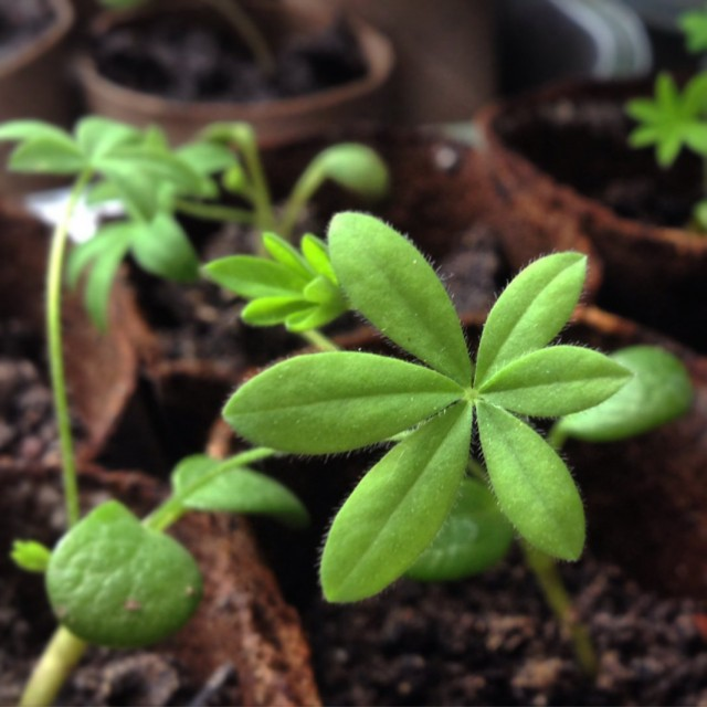 Сеянцы люпина с настоящими листочками