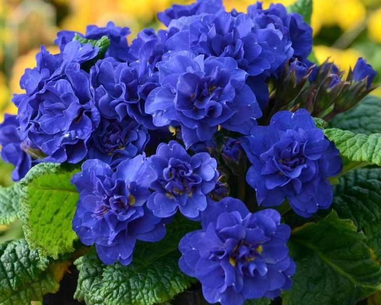 Primula-vulgaris-Cobalt-Blue-1
