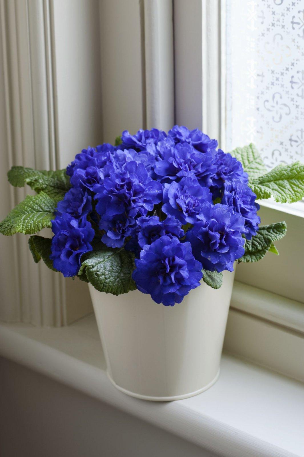 Primula-vulgaris-Cobalt-Blue-2