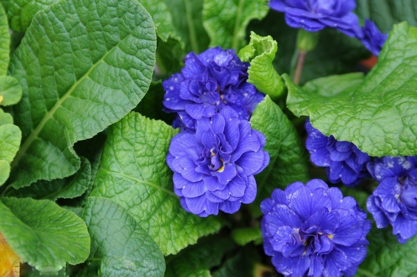 Primula-vulgaris-Cobalt-Blue-3