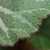 Камнеломка плетеносная (Saxifraga stolonifera)