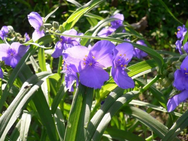 Традесканция виргинская (Tradescantia virginiana)