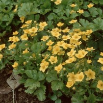 Вальдштейния (Waldsteinia)