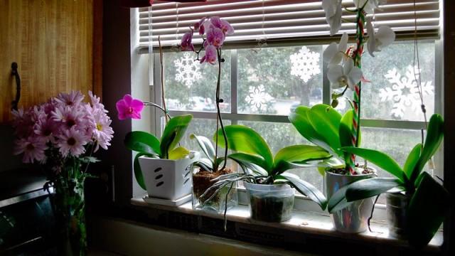 Как поливать орхидеи зимой