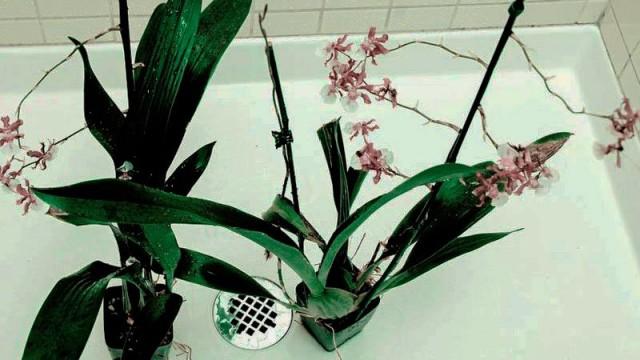 Полив орхидей тёплым душем