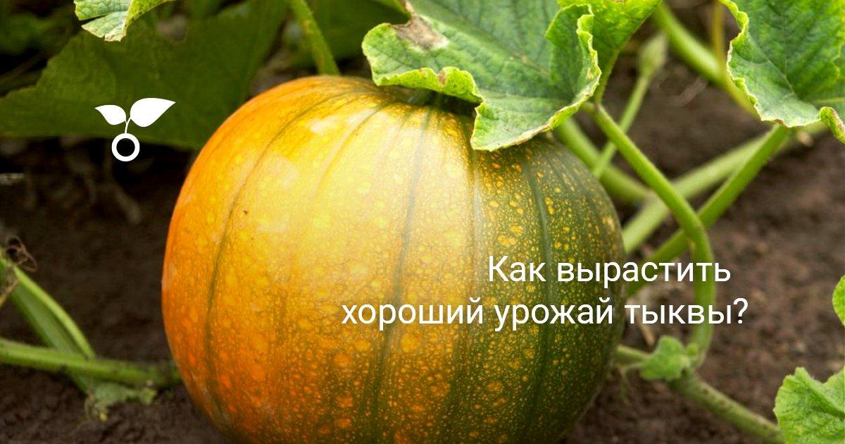 Тыква: выращивание и уход в открытом грунте, как и сколько она растет, фото кустов и готовых плодов, секреты опытных фермеров