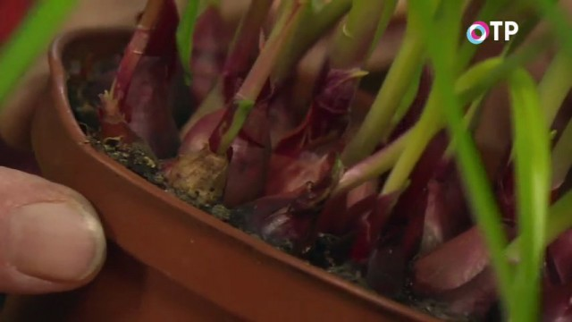 Луковицы севка, непригодные к посадке на грядки, можно высадить в горшок на подоконник для получения зелени