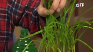 Зелень лука, выращенная из севка, непригодного к посадке на огороде