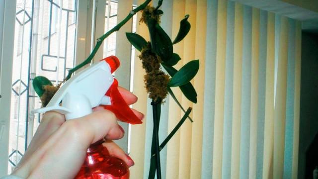 Опрыскивание корней орхидей