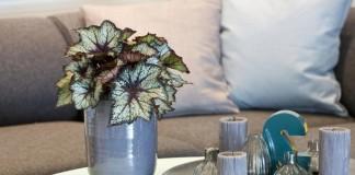 Бегония королевская декоративно-лиственная в интерьере