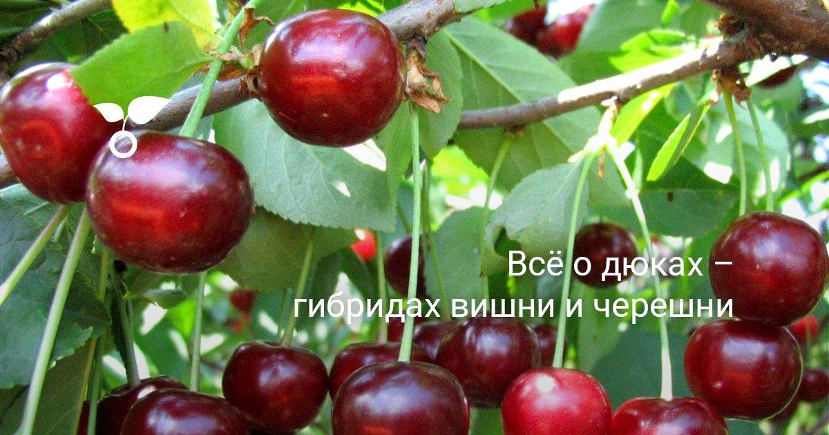 Черевишня в Сибири посадка и уход