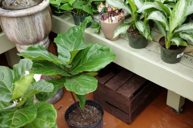 Выбор декоративных комнатных растений в магазине