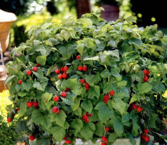 Урожай ягод малины на даче