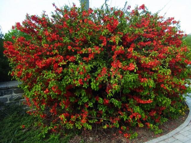 Куст хеномелеса японского, или айвы японской во время цветения
