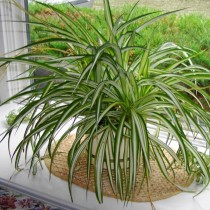 Хлорофитумов (Chlorophytum)