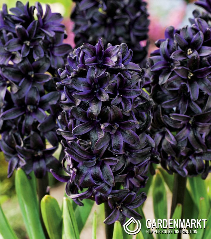 Hyacinthus-orientalis-Dark-Dimension-1