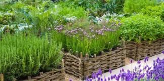 Лаванда в бордюре у огорода