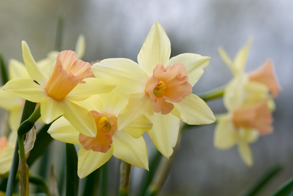 Narcissus-jonquilla-Blushing-Lady-2