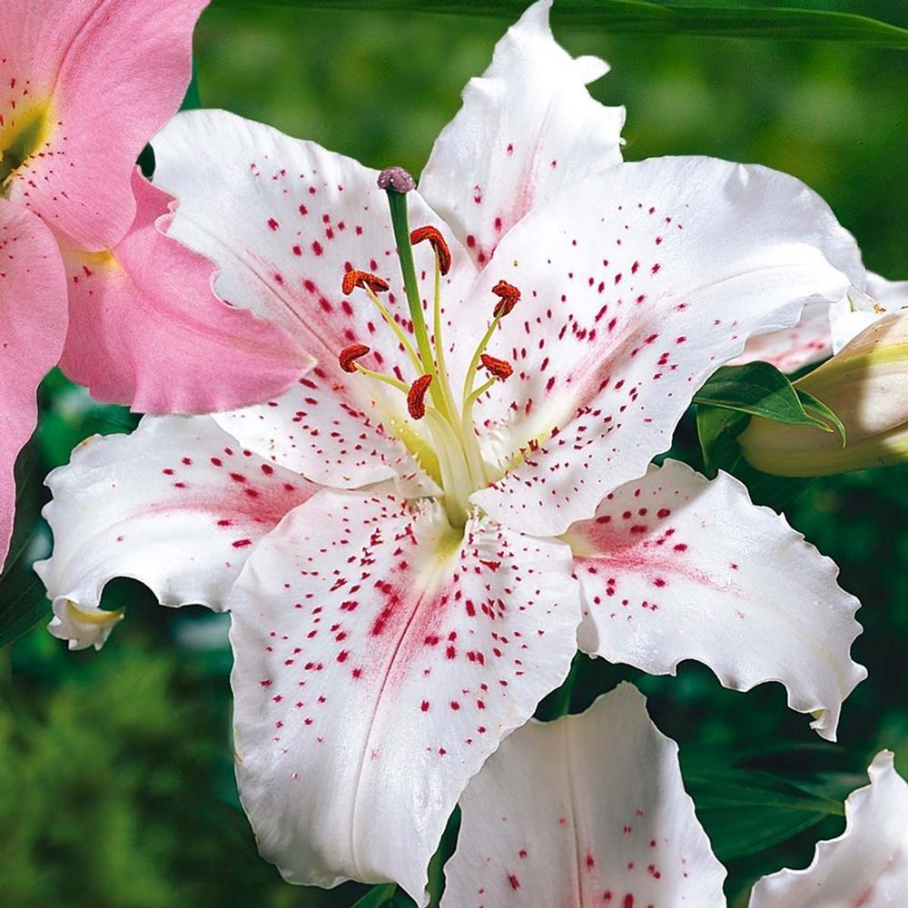 Oriental-hybrids-Lily-Muscadet-1