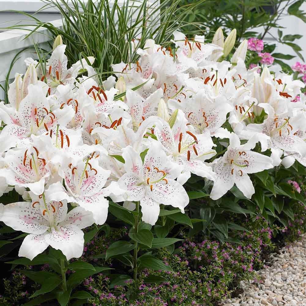 Oriental-hybrids-Lily-Muscadet-2