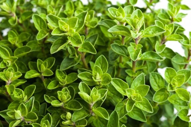 Молодая листва Душицы обыкновенной