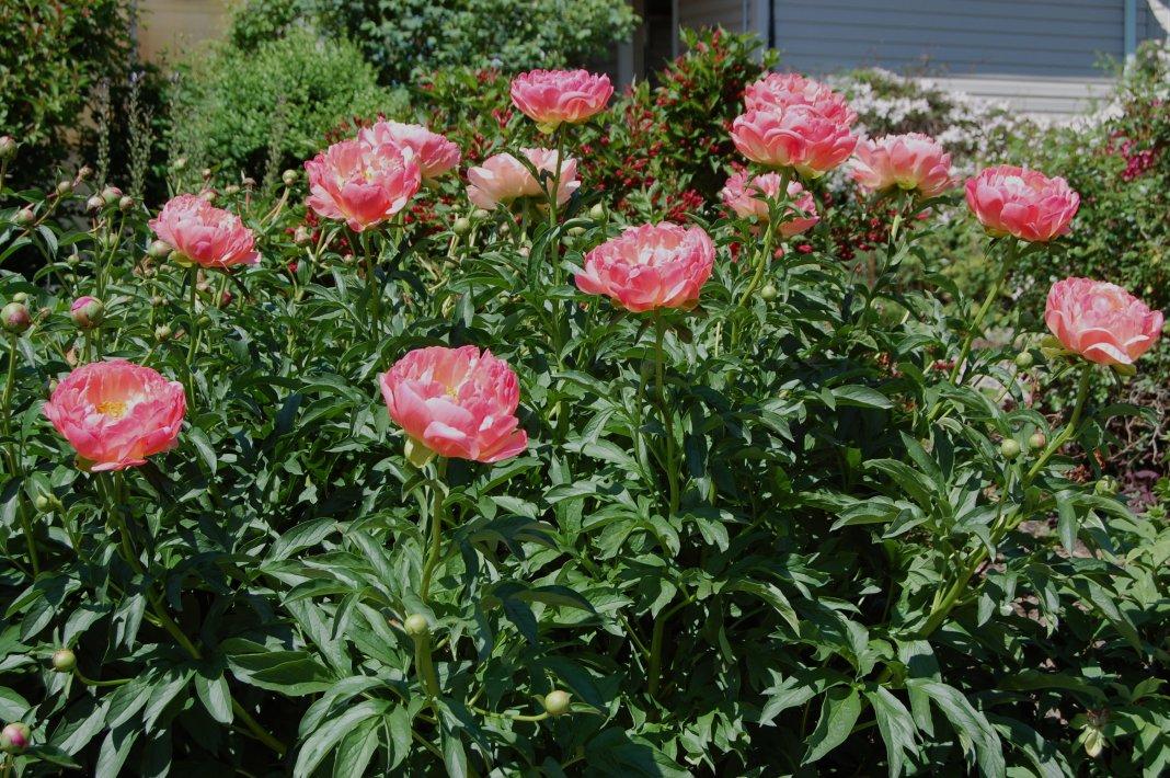 Paeonia-lactiflora-Pink-Hawaiian-Coral-3