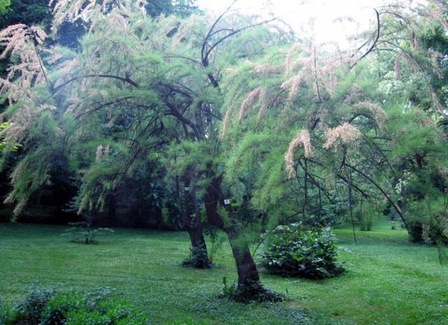 Гребенщик, или Тамарикс (Tamarix), растущий деревом