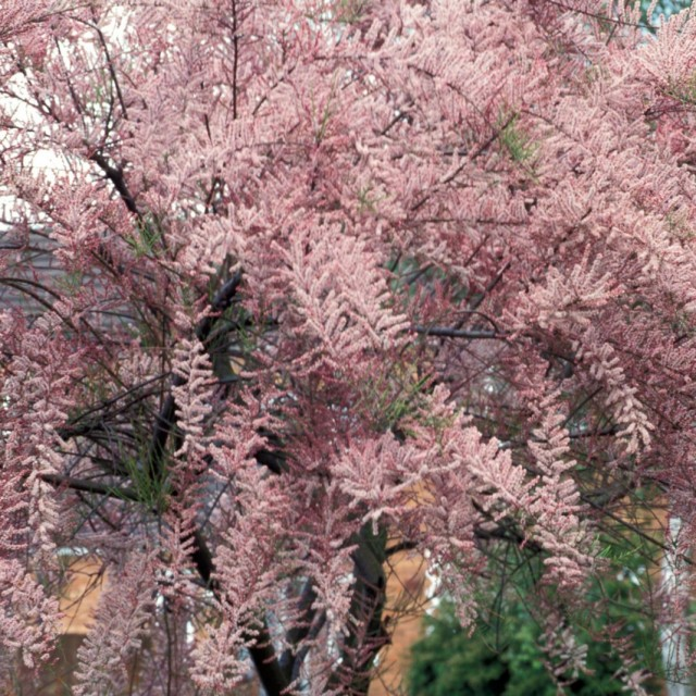 Гребенщик мелкоцветковый (Tamarix parviflora)