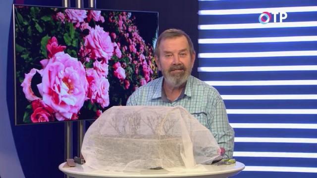 Как правильно весной раскрывать розы после зимнего укрытия