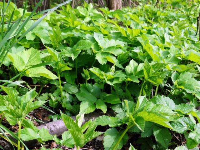 Сныть обыкновенная (Aegopodium podagraria)