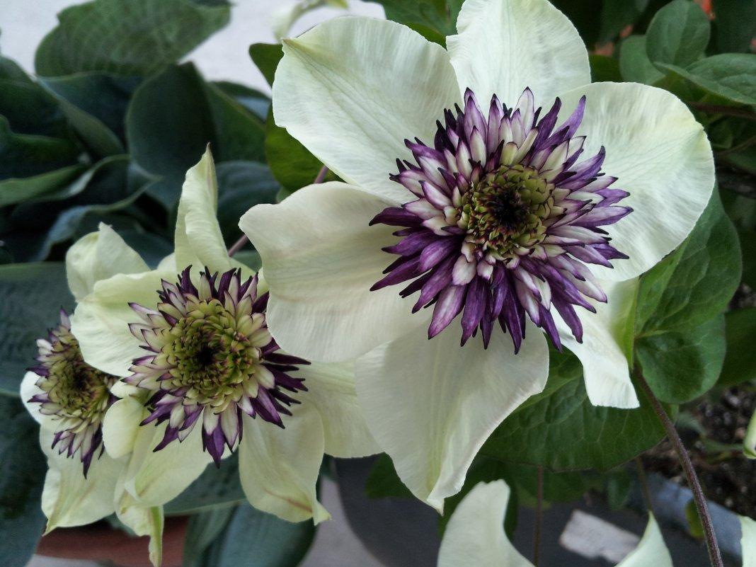 Clematis-florida-Sieboldii-1