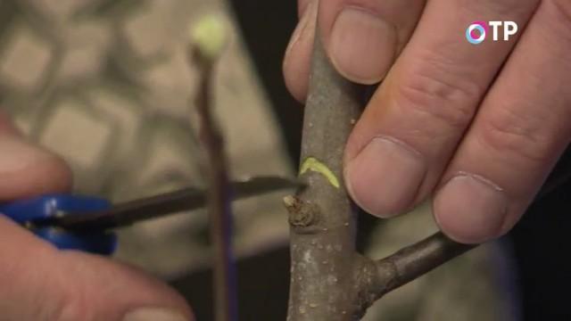 Делаем дугообразный надрез над почкой на стволе для запуска роста боковой ветви