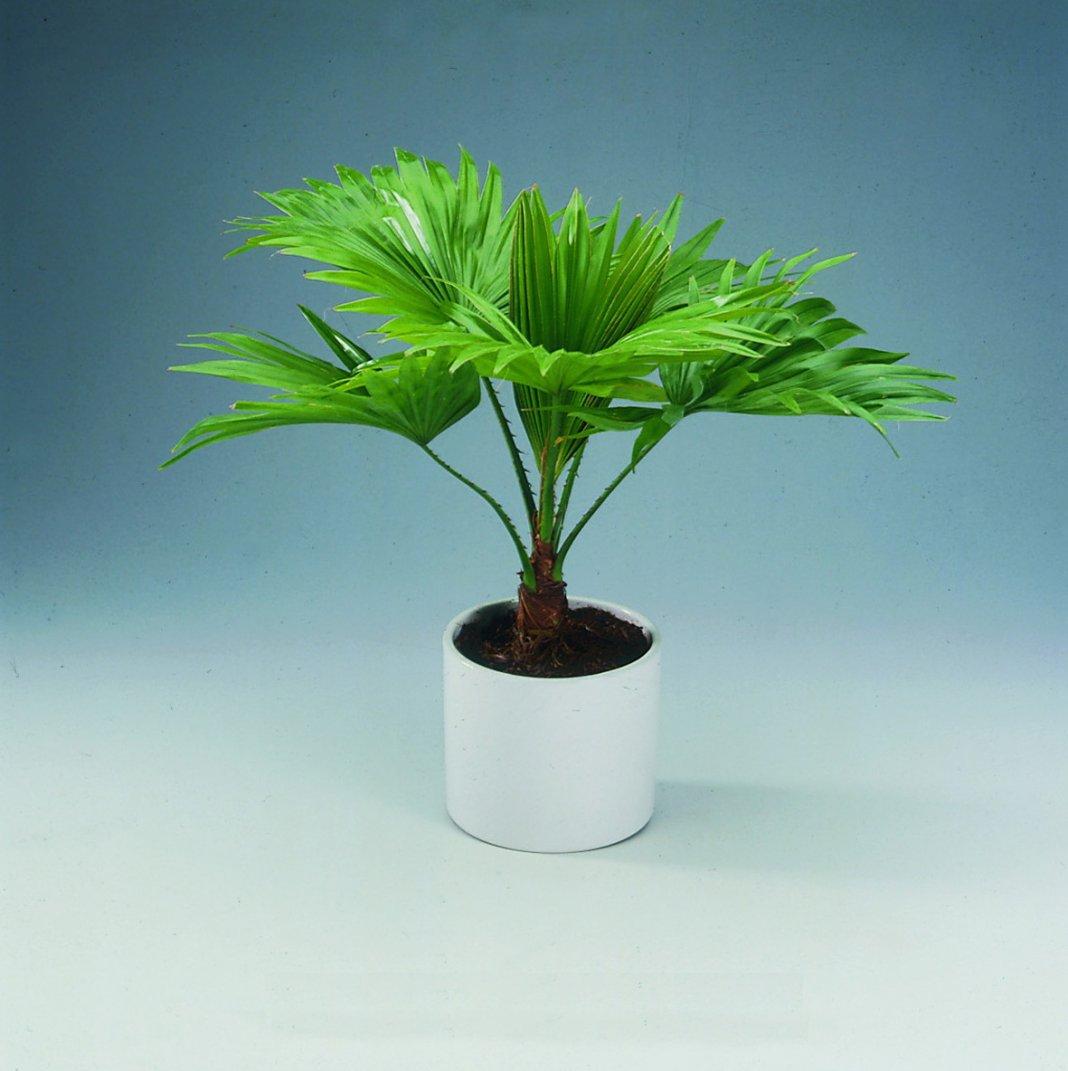 фото и названия пальмовых домашних растений по-сути