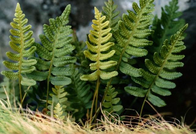 Полиподиум обыкновенный (Polypodium vulgare)