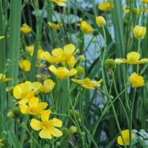 Лютик длиннолистный (Ranunculus lingua)