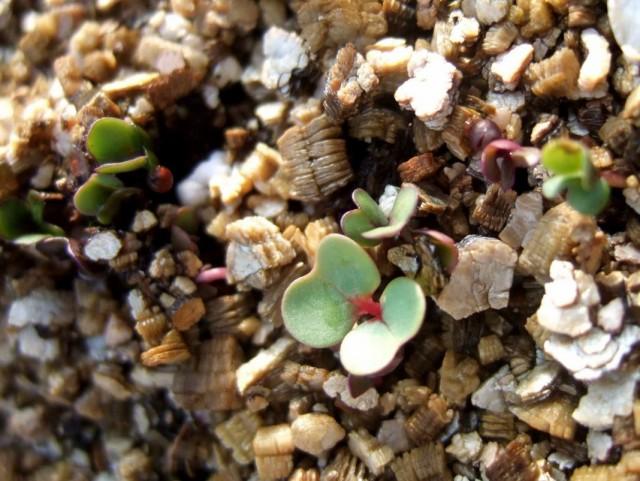 Проращивание семян в вермикулите