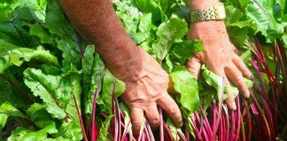 Выращивание крупной свёклы
